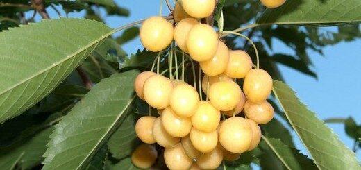 Ķirsis Saldais Iedzēnu Dzeltenais /Prunus avium/