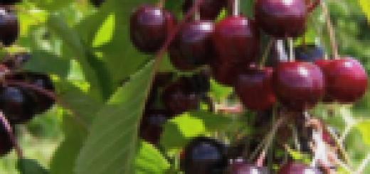 Ķirsis Saldais Kompaktnaja  /Prunus cerasus/