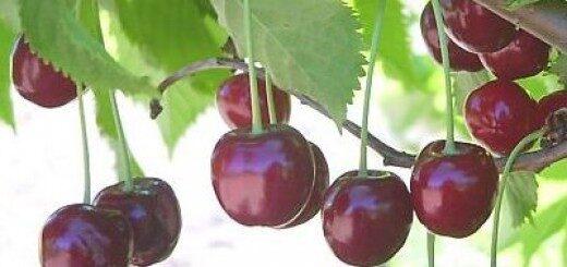 Ķirsis saldais Kristīna (Arthur) /Prunus cerasus/