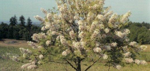 Ksantocerass pīlādžlapu (čikalkinrieksts) /Xanthoceras sorbifolium/