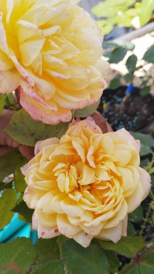 Rozes /Rosa/