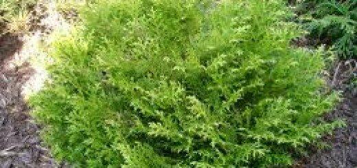 Patūja Japānas Nana /Thujopsis dolobrata Nana/