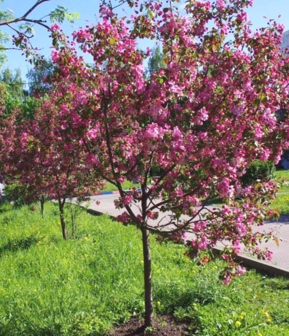 Ābele dekoratīvā /Malus purpurea/