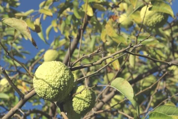 Apelsīnu koks /Maclura pomifera/