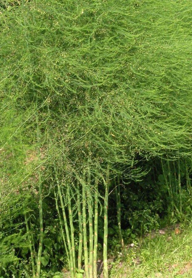 Asparāgs ārstniecības /Asparagus officinalis/