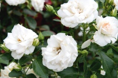 Klājeniskā Roze Aspirin Rose /Rosa/