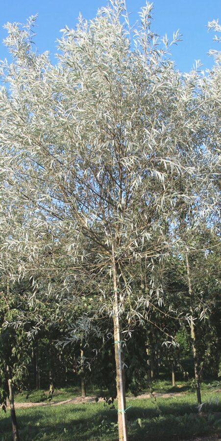 Vītols Baltais Sericea /Salix alba Serisea/