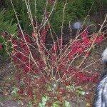 Bārbele Parastā /Berberis vulgaris/