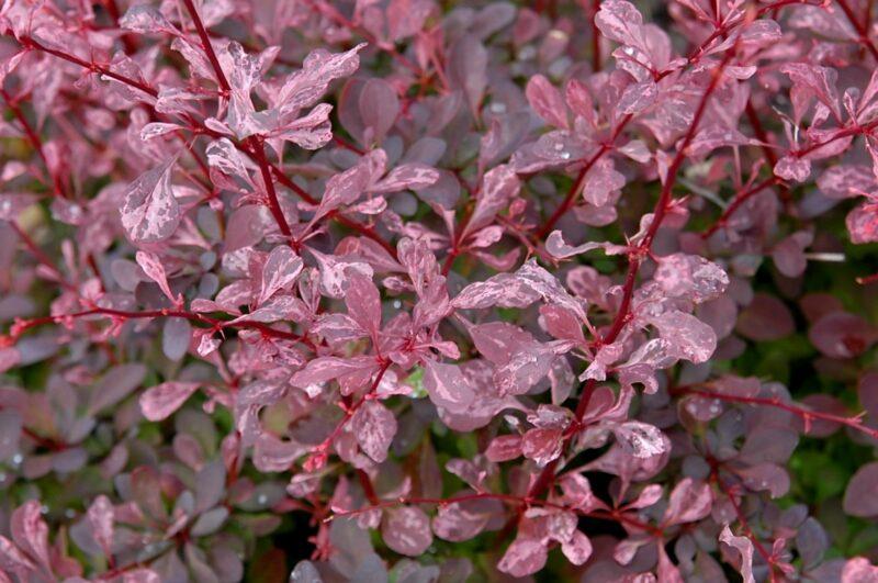 Bārbele Tunberga Rose Glow /Berberis thunbergii Rose Glow/