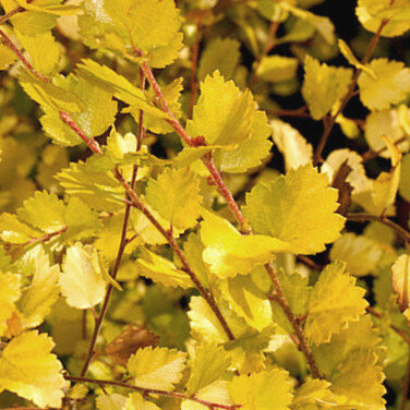 Pundurbērzs Golden Treasure /Betula nana Golden Treasure/