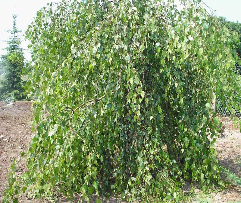 Bērzs āra Yongii /Betula verucosa Yongii/
