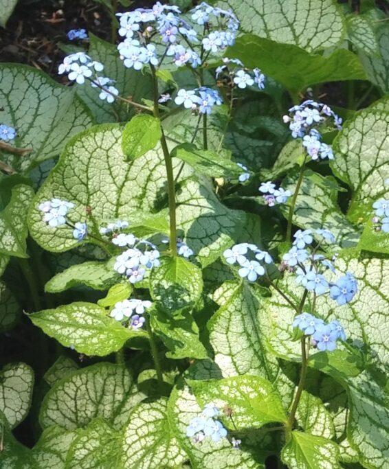 Brunnera liellapu /Brunnera macrophylla/