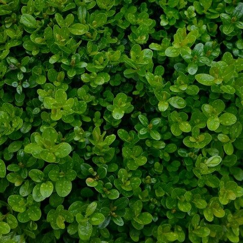 Buksis Mūžzaļais /Buxus sempervirens/