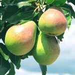 Bumbiere Peppi /Pyrus/