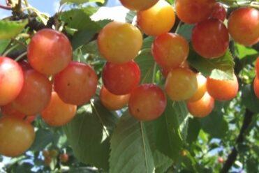 Ķirsis saldais Aija /Prunus avium/