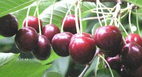 Ķirsis saldais Brjanskaja 3-36 /Prunus avium/