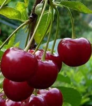 Ķirsis saldais Kompaktnaja Venjaminova /Prunus avium/