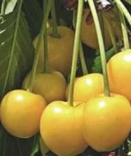 Ķirsis saldais Paula /Prunus avium/