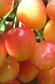 Ķirsis Saldais Severnaja /Prunus avium/