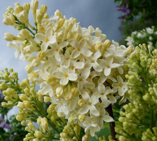 Ceriņš parastais Primrose /Syringa vulgaris Primrose/