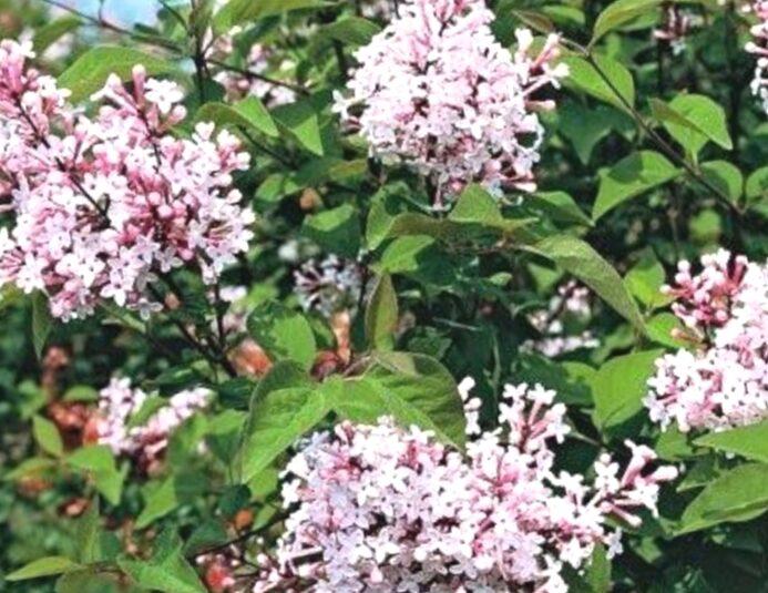 Ceriņš sīklapu Rosea /Syringa microphylla/