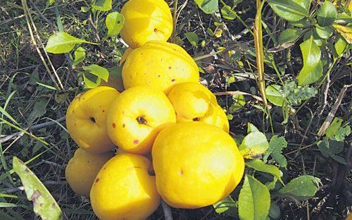 Krūmcidonija, bezērkšķu, lielaugļu /Chaenomeles japonica /