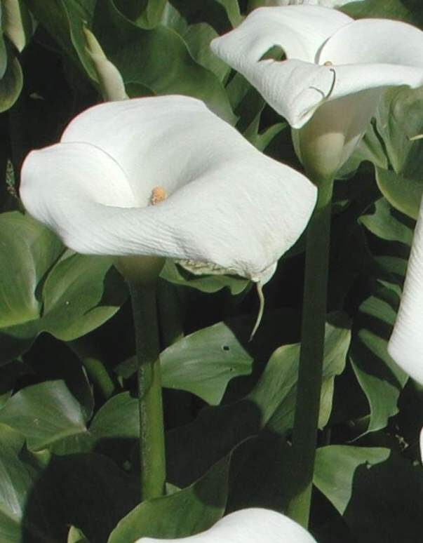 Cūkausis Purva /Calla palustris/