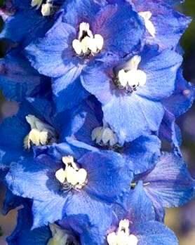 Dārza delfīnija Magic Fountains Dark Blue/ White Bee /Delphinium Cultorum /