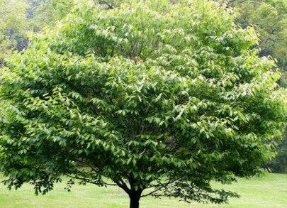 Skābardis Parastais /Carpinus betulus/