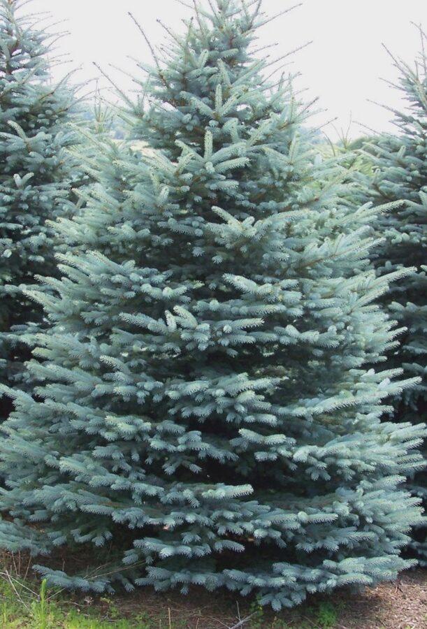 Egle Asā jeb Kolorādo /Picea pungens/