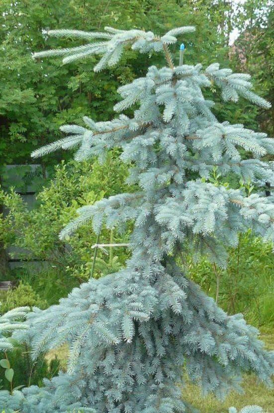 Egle asā Glauca Pendula /Picea pungens Glauca Pendula/