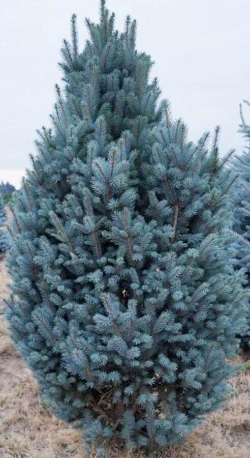 Egle asā Iseli Fastigiata /Picea pungens Iseli Fastigiata/