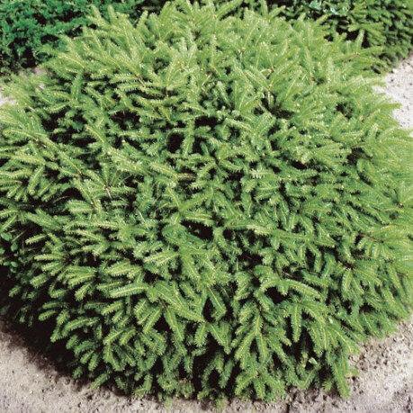 Egle parastā Nidiformis /Picea abies Nidiformis/