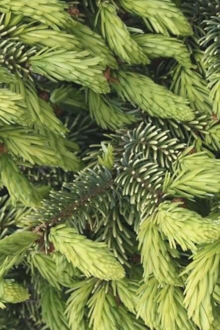 Egle Serbijas Aurea /Picea omorica Aurea/