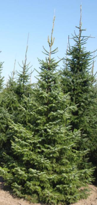 Egle Serbijas /Picea omorika/