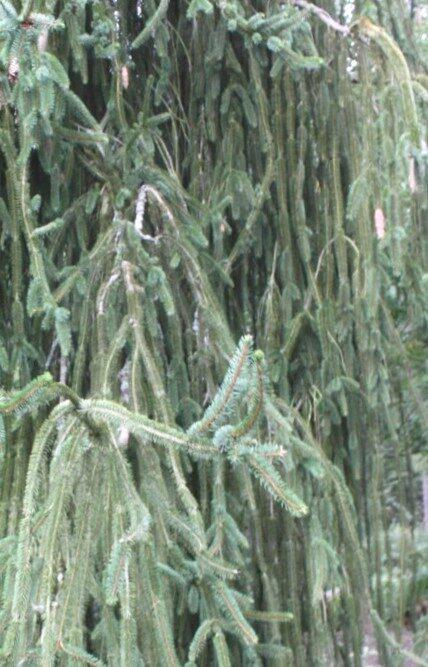 Egle parastā Viminalis /Picea abies Viminalis/