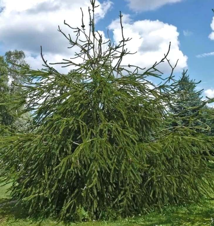 Egle parastā Virgata, čūskegle /Picea abies Virgata/