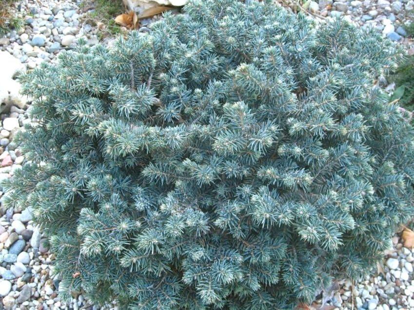 Egle asā Waldbrunn /Picea pungens Waldbrunn/