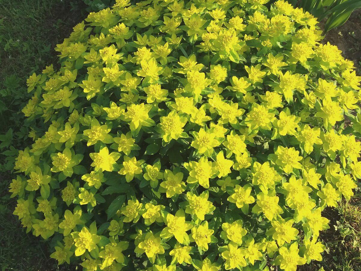 Eiforbija Daudzkrāsu /Euphorbia polychroma/