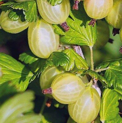 Ērkšķoga mazērkšķu Captivator /Grossularia reclinata Captivator (Ribes uva-crispa Captivator)/