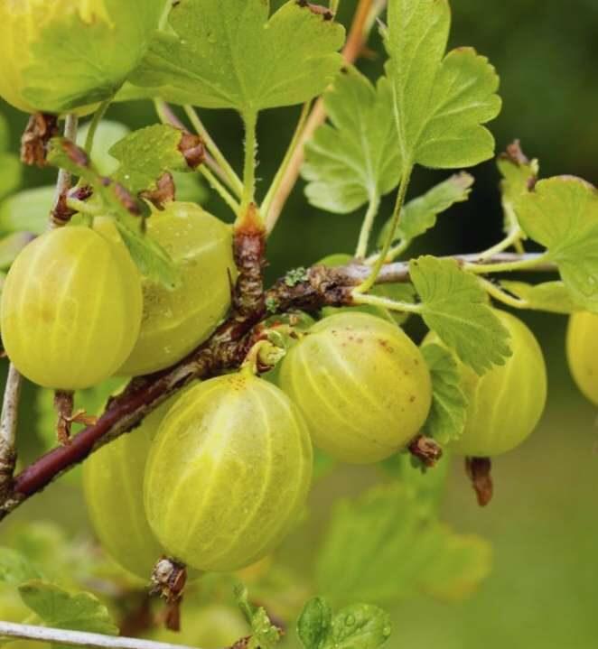 Ērkšķogas Invicta /Grossularia reclinata /