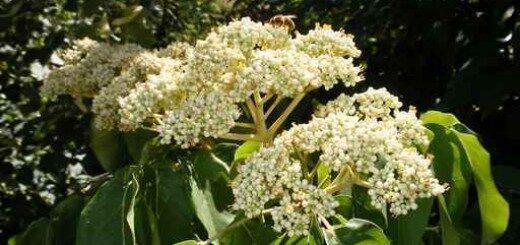 Evodija, bišu koks /Euodia hupehensis (syn. E. daniellii, Tetradium hupehensis, T. daniellii)/