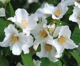 Filadelfs hibrīdšķirne Belle Etoile/neīstais jasmīns /Philadelphus x purpureo-maculatus Lemoine Belle Etoile/