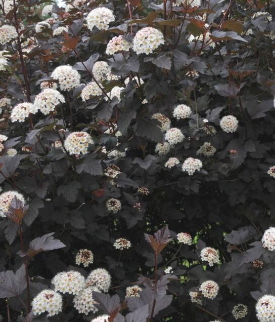 Fizokarps irbeņlapu Diabolo /Physocarpus opulifolius Diabolo/