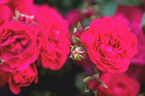 Klājeniskā Roze Gaertnerfreude/Toscana /Rosa/