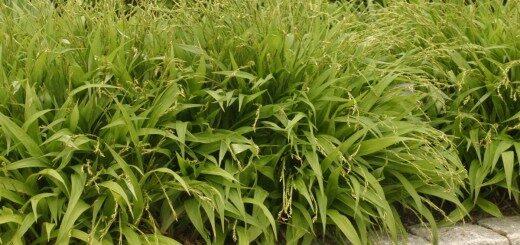 Grīslis Patlapu /Carex siderosticta/