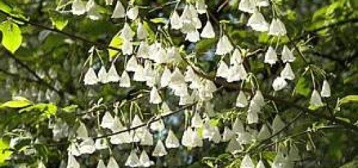 Halēzija (sniegpulkstenīšu koks) /Halesia carolina var. monticola/