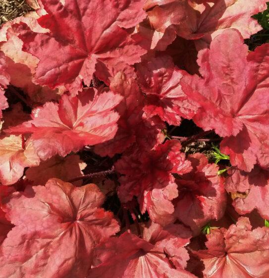 Heihēra Autumn Leaves /Heuchera Autumn Leaves/