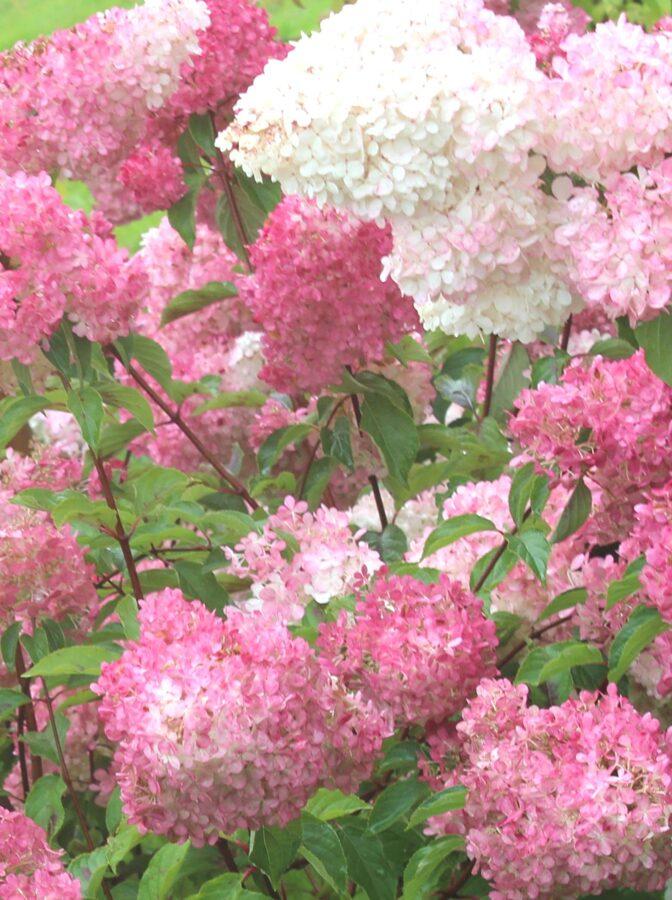 Hortenzija skarainā FRAISE MELBA /Hydrangea paniculata FRAISE MELBA/