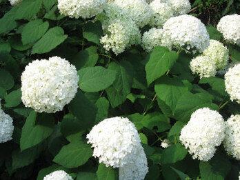 Hortenzija kokveida Anabelle /Hydrangea arborescens Anabelle/
